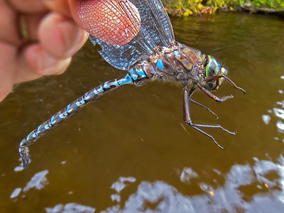 Lake Darner (Aeshna eremita), male