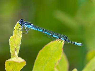 Marsh Bluet (Enallagma ebrium), male