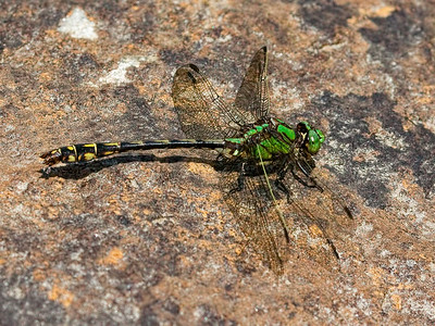 Brook Snaketail (Ophiogomphus aspersus), male