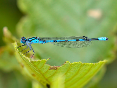 Hagen's Bluet (Enallagma hageni), male