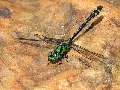 Riffle Snaketail (Ophiogomphus carolus), Male