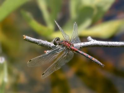 Hudsonian Whiteface (Leucorrhinia hudsonica), Male