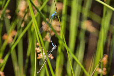 Attenuated Bluet (Enallagma daeckii), tandem pair;  Franklin Parker Preserve, NJ