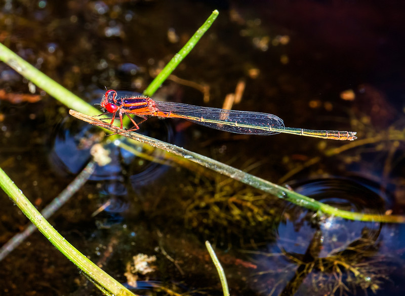 Scarlet Bluet (Engallagma pictum), male;  Pakim Pond, NJ