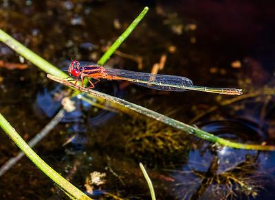 Scarlet Bluet (Engallagma pictum), male;  Pakim Pond, NJ