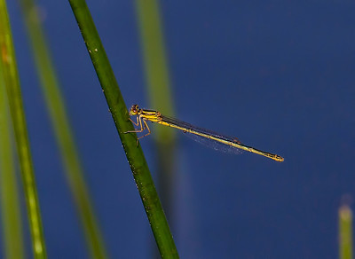 Scarlet Bluet (Enallagma pictum), female;  Chatsworth Lake, NJ