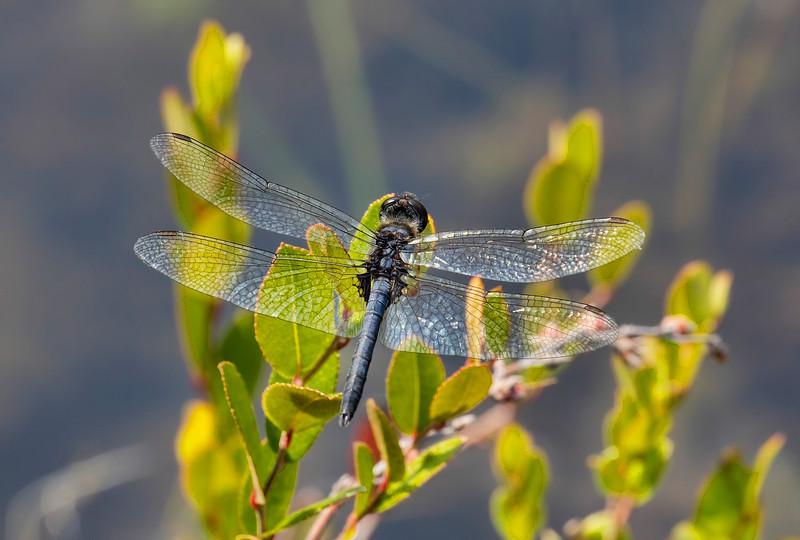 Double-ringed Pennant (Celithemis verna), male;  Gunnery Range Pond, NJ