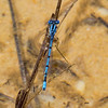 Atlantic Bluet (Enallagma doubledayi), male;  Franklin Parker Preserve, NJ