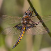 Mantled Baskettail, Male, Wharton State Forest, NJ