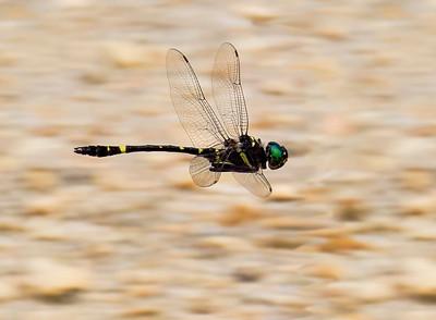 Allegheny River Curiser (Macromia alleghaniensis), male;  Pakim Pond, NJ