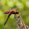 Carolina Saddlebags (Tramea carolina), male;  Gunnery Range Pond, NJ