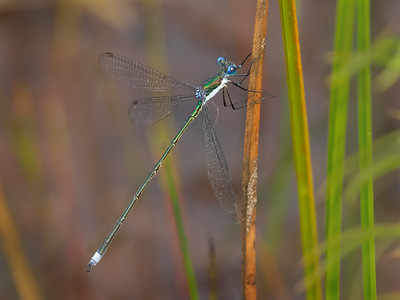 Swamp Spreadwing