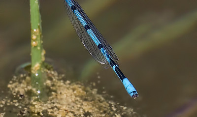 Atlantic Bluet (Enallagma doubledayi), male appendages;  Franklin Parker Preserve, NJ