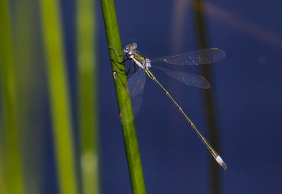 Elegant Spreadwing (Lestes inaequalis), male;  Chatsworth Lake, NJ