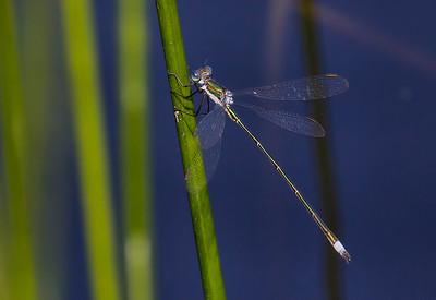Elegant Spreadwing (Lestes inaequalis), male;  Chatsworth Lake, NJ