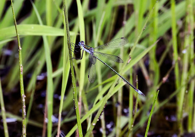 Swamp Spreadwing (Lestes vigilax), male; Harrisville Pond, NJ