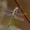 Uhler's Sundragon, Female, Wharton State Forest, NJ