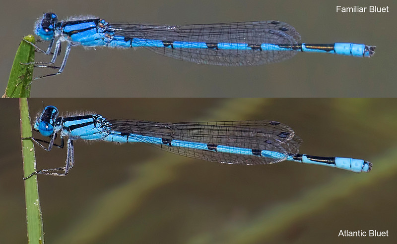 Atlantic Bluet (Enallagma doubledayi), male;  Franklin Parker Preserve, NJ compared wtih Familiar Bluet (E. civile);  Note differences in appendages and pattern on top of S6