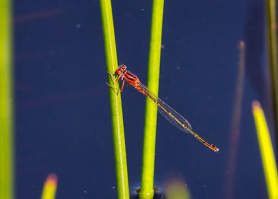 Scarlet Bluet (Enallagma pictum), male;  Chatsworth Lake, NJ