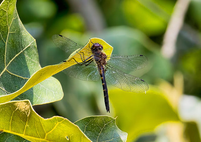 Petite Emerald (Dorocordulia lepida), female;  Franklin Parker Preserve, NJ