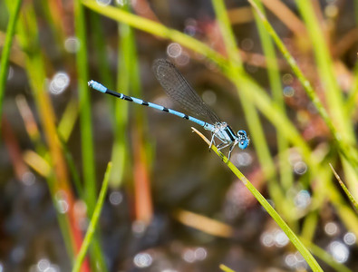 Seepage Dancer (Argia bipunctulata), male; Webb's Mill Bog, NJ