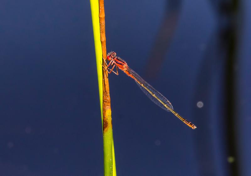 Scarlet Bluet (Enallagma pictum), male;  Chattsworth Lake, NJ