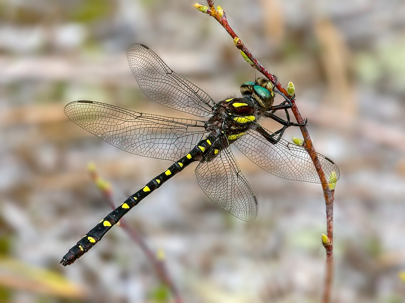 Twin-spotted Spiketail, male, Wharton State Forest, NJ