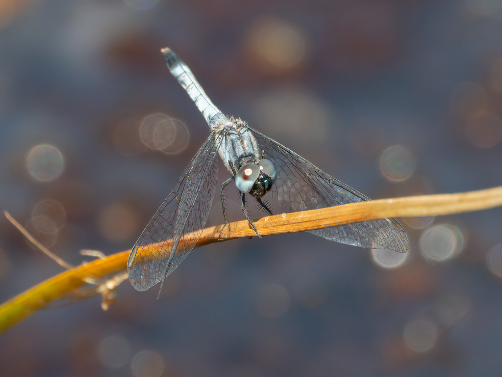 Little Blue Dragonlet, male