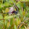 Crimson-ringed Whiteface (Leucorrhinia glacialis), male, Jam Pond, Chenango County, NY