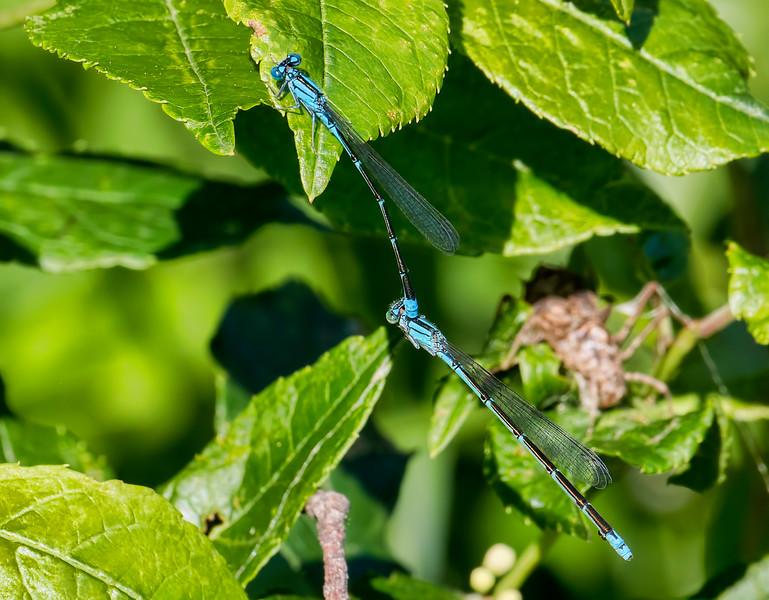 Slender Bluet (Enallagma traviatum), pair in tandem, Hawkins Pond, Broome County, NY