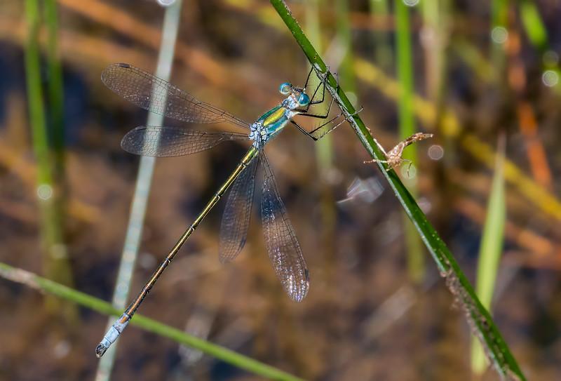 Elegant Spreadwing (Lestes inaequalis), male, Hawkins Pond, Broome County, NY