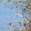 Common Green Darner, Lake Cheston, March 23