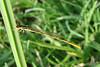 Citrine Forktail (Ischnura hastata) male.  TX: Tarrant Co. (Duhons' Fort Worth yard), 13 June 2007.