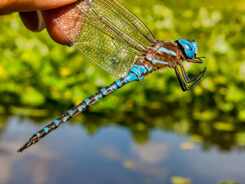 Spatterdock Darner (Rhionaeshna mutata) male, Ten Acre Pond, Centre County, PA