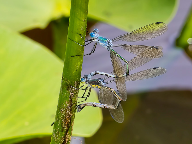 Amber-winged Spreadwing (Lestes eurinus) ovipositing pair, Ten Acre Pond, Centre County, PA