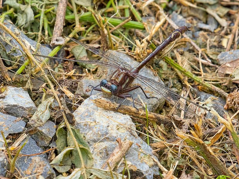 Ashy Clubtail ( Gomphus lividus) male, Black Moshannon State Park, Centre County, PA