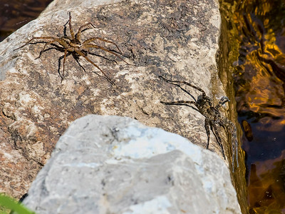 Fishing Spiders (Diomedes sp), Black Moshannon State Park, Centre Co, PA