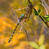 Delta-spotted Spiketail (Cordulagaster diastatops) male, Beaver Dam Meadow, Huntingdon Co, PA