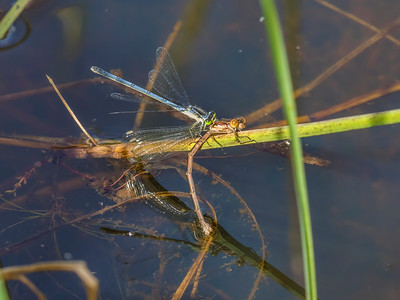 Female Eastern Forkail (Ischnura verticalis) eating a teneral female Spotted Spreadwing (Lestes congener), Ten Acre Pond, Centre County, PA