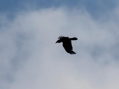 Common Raven, Black Moshannon State Park, Centre Co, PA