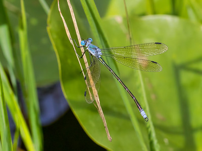 Amber-winged Spreadwing (Lestes eurinus) male, Ten Acre Pond, Centre County, PA