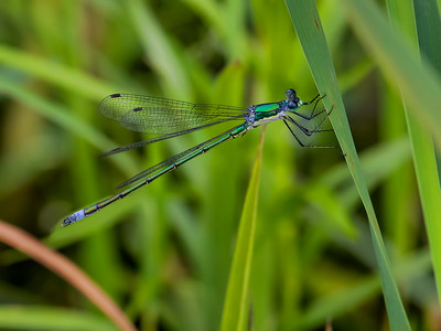 Elegant Spreadwing (Lestes inaequalis), Black Moshannon State Park, Centre Co, PA