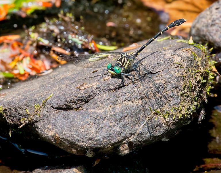 Eastern Least Clubtail (Stylogomphus albistylus), male, Fiddle Brook Beaver Pond, Susquehanna County, PA