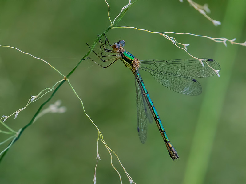 Emerald Spreadwing (Lestes dryas) female, Leatherleaf Swale, Centre Co, PA
