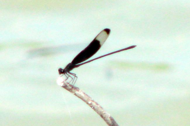 Smoky Rubyspot (Hetaerina titia) male.  TX: Zapata Co. (San Ygnacio Sanctuary), 6 June 2007.