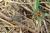 Flag-tailed Spinyleg (Dromogomphus spoliatus) male.  TX: Hidalgo Co. (Anzalduas Co. Park), 8 June 2007.