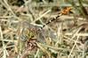 Eastern Ringtail (Erpetogomphus designatus) male.  TX: Hidalgo Co. (Anzalduas Co. Park), 8 June 2007.