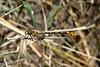 Flag-tailed Spinyleg (Dromogomphus spoliatus) male.  TX: Hidalgo Co. (Santa Ana NWR), 9 June 2007.