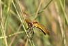 Band-winged Meadowhawk (Sympetrum semicinctum) female.  MT: Near Fort Peck Dam, 20 July 2010.