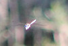 Blue-eyed Darner (Rhionaeschna multicolor) male.  WY: Casper area, 29 July 2010.